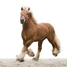 palm paard